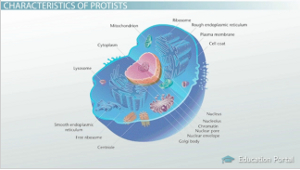 Protist Cell Structure The Evolution of Proti...