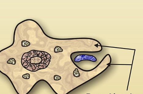 Pseudopods: Definition & Function - Video & Lesson