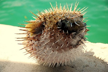 Puffer fish adaptations lesson for kids for Puffer fish adaptations
