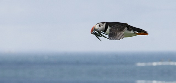 puffin fishing