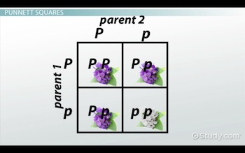 example of Punnett square with white and purple