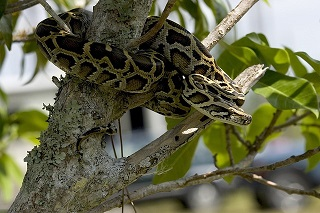 Python in a tree