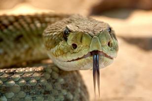 What snakes are venomous?