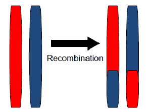 What is the exchange of genetic material between homologous chromosomes called?