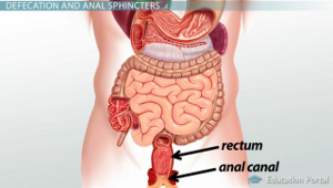 Rectum Anal Canal Diagram