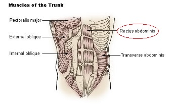 Rectus Abdominis Muscle Action Origin Insertion Science Class Study Com