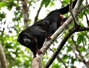 howler monkey population predators adaptations study com