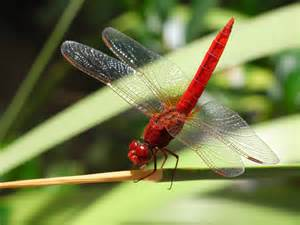 Life Cycle of a Dragonfly: Lesson for Kids | Study.com