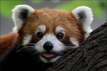 Red Panda Facts: Lesson for Kids | Study.com