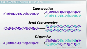 What Is Dna Replication Conservative Semi Conservative Dispersive Models Video Lesson Transcript Study Com