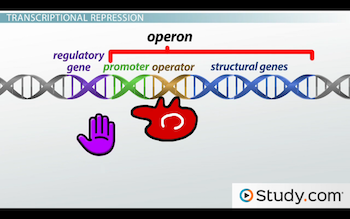 image of repressor blocking RNA polymerase