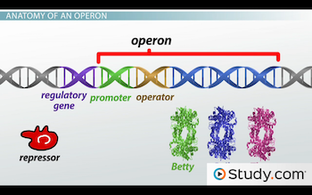 Image showing entire operon