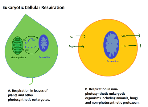 Organisms that use cellular respiration video lesson transcript respiration in eukaryotes ccuart Image collections