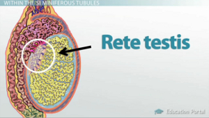 Testicular Anatomy: Structure, Terms & Diagrams - Video & Lesson ...