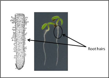 Root hairs in plants function definition video lesson function of root hairs ccuart Gallery