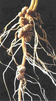 symbiotic relationship between nitrogen fixing bacteria for beans