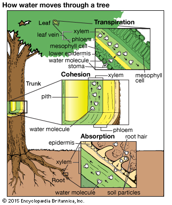 Explanation of water movement in a plant, beginning with water uptake by the root system.