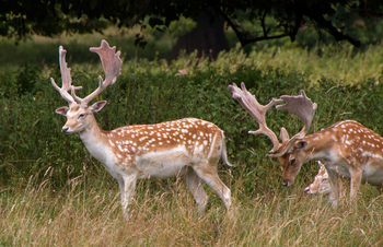 fallow deer facts lesson for kids study com