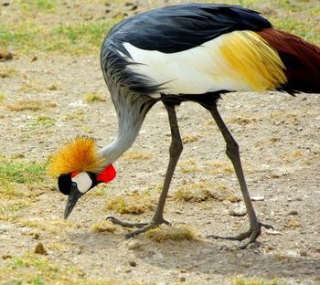 Crane Bird Information: Lesson for Kids   Study com