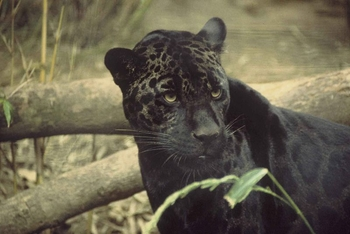 Good Black Jaguar