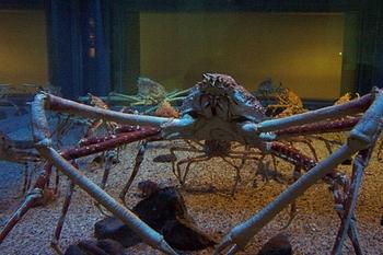 Japanese Spider Crab Habitat Lesson For Kids Study Com