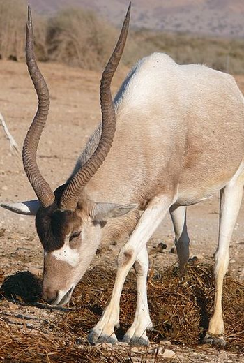 Addax Antelope Facts Lesson For Kids Study Com