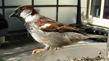 House Sparrow Facts: Lesson for Kids | Study com