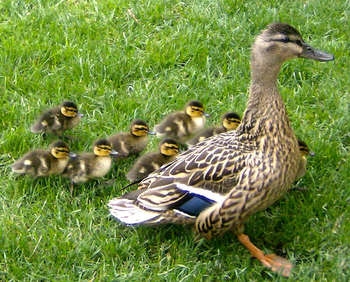 The Ugly Duckling by HC Andersen: Lesson for Kids | Study com