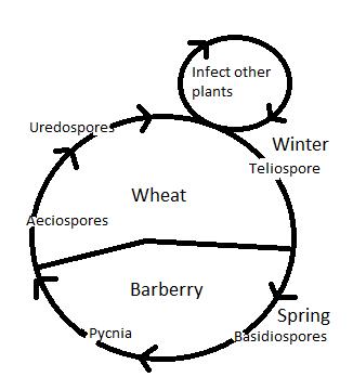 Rust Fungus Definition Life Cycle Study Com