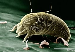 Image of mite