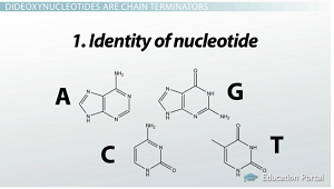 Type of nucleotide