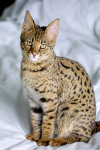Image of a Savannah cat.