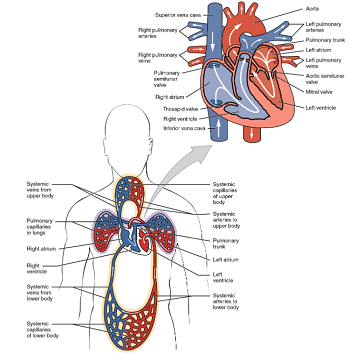 Diagram of a closed circulatory system