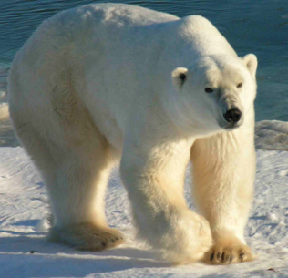 pictures of polar bears for kids wwwpixsharkcom