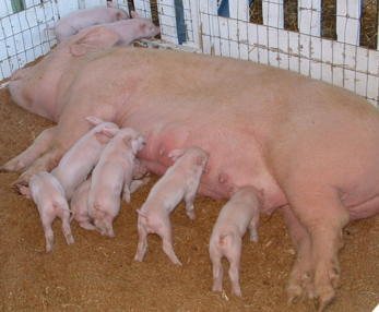 Pig Facts Lesson for Kids  Studycom