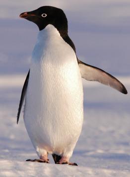 Adelie Penguin Facts: Lesson for Kids   Study.com