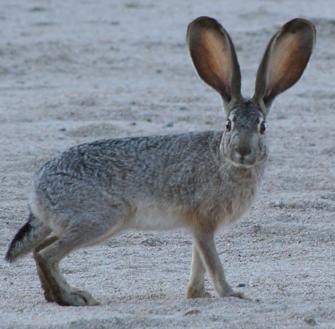 Jack Rabbit Facts: Lesson for Kids | Study.com