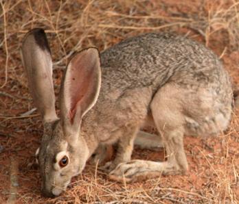 Jack Rabbit Facts: Lesson for Kids | Study com