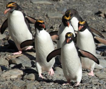 How Do Macaroni Penguins Get Their Food