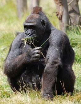 How Do Mountain Gorillas Get Their Food