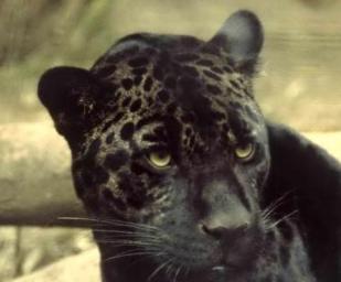 Rainforest Leopard Facts: Lesson for Kids | Study.com - photo#8