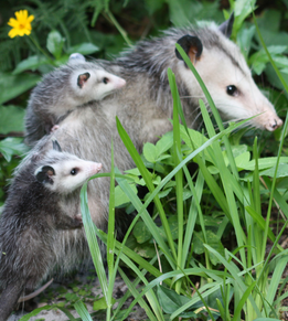 Opossums Facts: Lesson for Kids   Study com