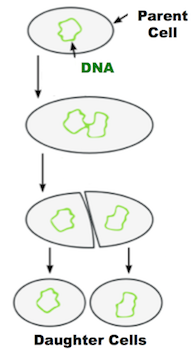 Binary Fission: Lesson for Kids | Study.com