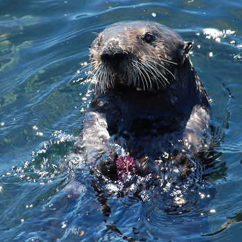 sea otter with urchin
