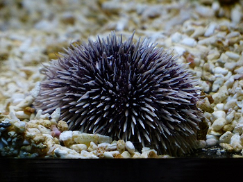 how to eat sea urchin facts