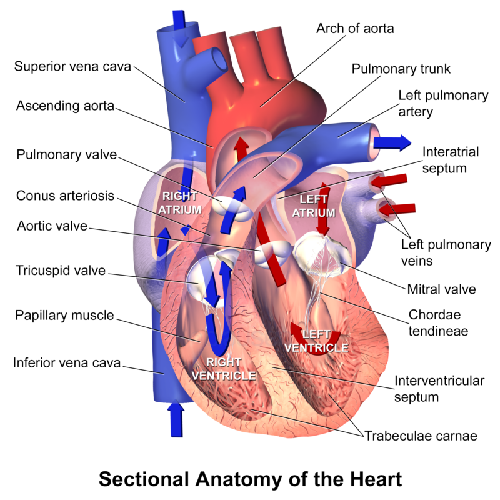 Low potassium heart attacks study diagram of the heart ccuart Image collections