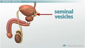 Seminal Vesicles Location