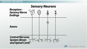 Types of Neurons: Sensory, Afferent, Motor, Efferent ...