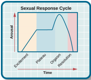 The human sexual response cycle has how many phases