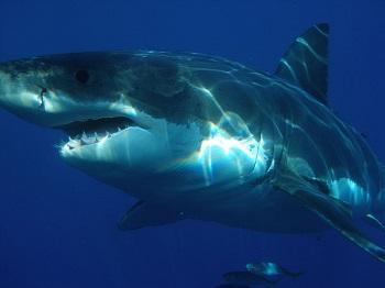Great White Shark Habitat: Lesson for Kids | Study.com